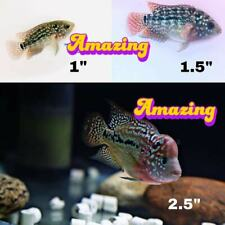3-Pack - High Quality Evolution Kamfa Flowerhorn Fry - Big Head Golden Base Gene
