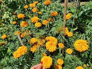 220+ African Marigold seeds, Crackerjack/TAGETES fragrent Flowers, CANADIAN 🇨🇦
