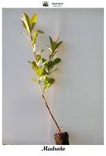 Planta de Madroño - Arbutus unedo - 2 años