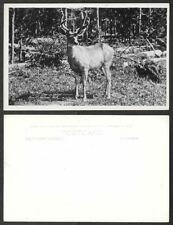 Old Canada Real Photo Postcard - Banff, Alberta - Deer in Velvet - Gowen,Sutton