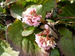 2 ORGANIC NORFOLK BERGENIA CORDIFOLIA ROOTS,SPRING FLOWERING GARDEN PLANT