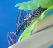 "SAILFIN LEOPARD PLECO.- Live Tropical Fish South American  Imported.1.5"" TO 2""."