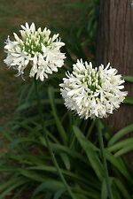 6 graines d'AGAPANTHE BLANCHE(Agapanthus Umbellatus Alba)H208 AFRICAN LILY SEEDS