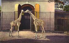 Basel - Zoologischer Garten, Giraffen, alte Ansichtskarte um 1910, Tierpark-Zoo