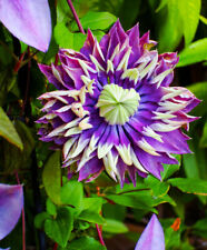 Clematis florida Taiga in 9cm pot