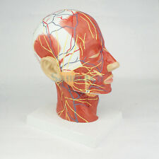 Median Section of Human Head & Neck Anatomical Model Medical Skeleton Anatomy