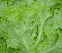 2,700 Thai Green Lettuce Seeds Lactuca Sataiva Vegetable
