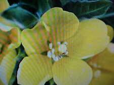 1/32- Pound Primrose-Evening 25,000 Flower Seeds