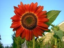 "25 Red Sun Sunflower Helianthus Annuus 6"" Flower Seeds *Flat Shipping + Gift"