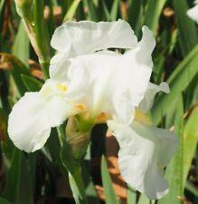 White with Yellow Beard Tall Bearded Iris 1 plant