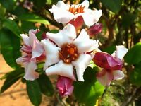 Rose Allamanda (Strophanthus Gratus)- Young