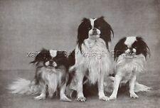 Dog Japanese Chin & Pekingese Dogs, Vintage Print 1930s