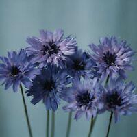 Catananche caerulea - Amor Blue - 50 Seeds