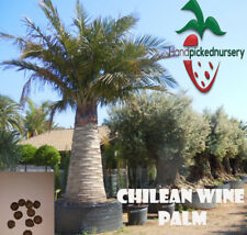 5 Chilean Wine Palm seeds, ( Jubaea chilensis ) from Hand Picked Nursery