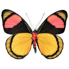 One Real Butterfly Yellow Pink Batesia Hypochlora Verso Unmounted Wings Closed