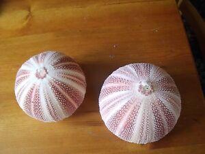 cornish sea urchin