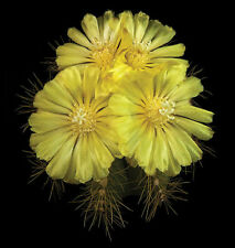 Parodia Magnifica by Richard Reynolds Floral Art Canvas Giclee Museum Wrapped