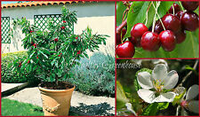 "SEEDS - Dwarf Sweet Garden Bing Cherry ""Prunus avium"" – Zones 5-9"