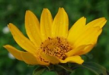 50+ Heliopsis False Sunflower / Good in Poor Soil and Hard Clay / Perennial Flow