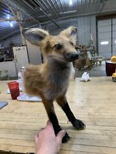 Taxidermy Fox Half Life Mount