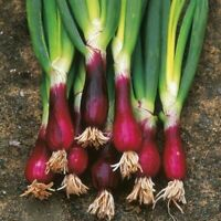 100 Seeds Spring Onion -North Holland Blood Red Bulb Vegetable Grow your Own DIY