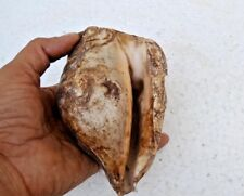 Old Vintage Natural Conch Shell Nautical Sea Beautiful Large Collectible P2