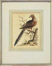 George Edwards Kupferstich 18. Jh.  handkoloriert Büttenpapier Vogel 45 x 36 cm