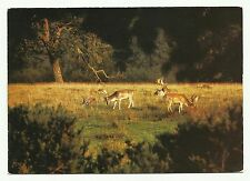 Deer in the New Forest postcard
