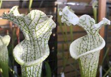 Sarracenia Carnivorous Plant Seeds UK Rare Cross 2018/GH/24