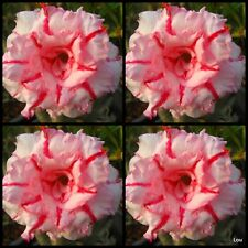 Adenium~Desert Rose < PROMSAP > Suit Bonsai~Indoor~10 SEEDS