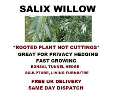 "Salix Willow Tree Bianco Alba Giardino Schermo Copertura radicato 12"" ALBERO GRATIS P&P #GYO"