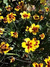 150 graines fleurs OEILLET INDE pour jardin bio permaculture naturel