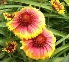300 seeds Gaillardia Aristata Perennial Blanket Flower drought tolerant +gift
