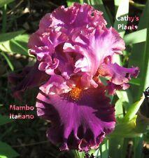 Tall Bearded Iris ~ Mambo Italiano ~ Additional wins ship $1.25 each