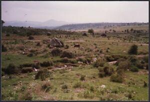 YZ1766 Orgosolo (NU) 1989 - Maiali al pascolo - Fotografia d'epoca