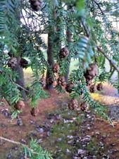 30 Canada Hemlock Tree Seeds -Gracefull Landscape Tree -USA GROWN