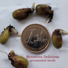 5 fresh GERMINATED seeds  -  Monstera Deliciosa  -  Swiss Cheese
