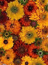 30+ Moroccan Sun Rudbeckia Flower Seeds Mix / Reseeding