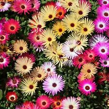 LIVINGSTONE Daisy Mix Seeds (F 183)