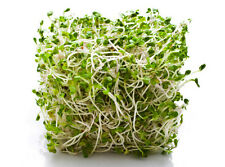 ALFALFA 'Sprouts' 1200 seeds Green Manure/ Sprouting (Lucerne) flower garden