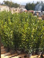 ALLORO Laurus Nobilis piante di siepe fitta 1.10 metri circa foto reali V Annese