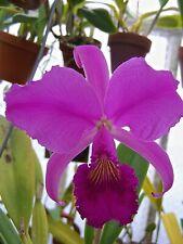 Cattley trianaei Sangretoro x Henington orchid plant C. trianae Dark Strain