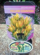 Leucadendron Yellow Countess in 75mm tube (Leucadendron and Protea) cut flower