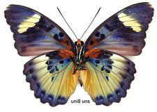 Butterfly - 1 x mounted female SCARCE Euphaedra uniformis (Good A1-)