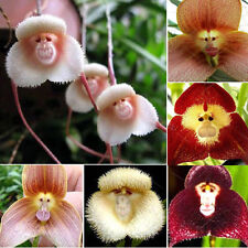 Monkey Face Orchid Seeds fresh monkey face seeds Uk Seller