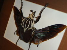 RARE Framed Goliathus goliathus apicalis African Flying Goliath Beetle Taxidermy