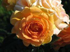 Rose Bush in 2 litre pot - lucky dip/lost label plants