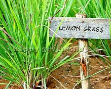 HERB - LEMON GRASS - 300 SEEDS - Cymbopogon flexuosus
