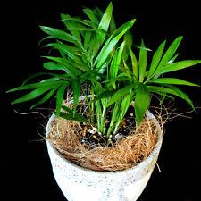 Parlour Palm ** Chamaedorea Elegans ** 1 indoor house plant