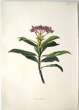 "Antique Hawaii Botanical Print: Hawaii Native Flower ""PUAHANUI"": London, 1885"